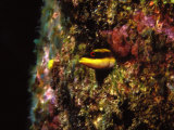 Wrasse Blenny in Coral Wall in the Sea Photographic Print