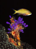 Bluebell Tunicate and Anthias Fish in the Sea Photographie