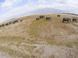 Herd of African Elephants, Amboseli, Kenya Photographic Print