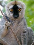 Close-Up of a Red-Fronted Lemur, Berenty, Madagascar Photographic Print
