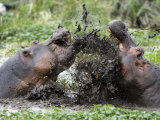 Two Hippopotamuses Sparring in Water, Ngorongoro Crater, Ngorongoro, Tanzania Photographic Print