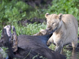 Lioness Hunting a Cape Buffalo, Ngorongoro Crater, Ngorongoro, Tanzania Photographic Print