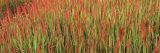 Red Baron in a Field Fotografisk trykk av Panoramic Images,