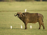 Cape Buffalo Standing with Cattle Egrets, Lake Manyara, Tanzania Photographic Print