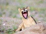 Flies on Head of Lion Cub, Tarangire National Park, Tanzania Photographic Print