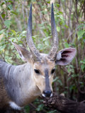Close-Up of a Bushbuck, Lake Manyara, Tanzania Photographic Print