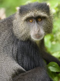 Close-Up of a Blue Monkey, Lake Manyara National Park, Tanzania Photographic Print