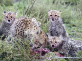 Cheetah Cubs Eating a Dead Animal, Ndutu, Ngorongoro, Tanzania Photographic Print