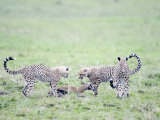 Cheetah Cubs Hunting Thomson&#39;s a Gazelle, Masai Mara National Reserve, Kenya Photographic Print