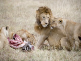 Pride of Lions Eating a Zebra, Ngorongoro Crater, Ngorongoro, Tanzania Photographic Print