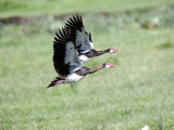 Spurwinged Geese in Flight, Ngorongoro Crater, Ngorongoro, Tanzania Photographic Print