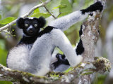 Indri Lemur Sitting on a Tree, Andasibe-Mantadia National Park, Madagascar Photographic Print