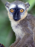 Close-Up of a White-Headed Lemur, Berenty, Madagascar Photographic Print