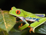Red-Eyed Tree Frog on Leaves Photographic Print