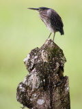 Close-Up of a Green Heron, Cano Negro, Costa Rica Photographic Print