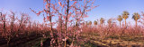 Peach Trees in an Orchard, Central Valley, California, USA Photographic Print by  Panoramic Images