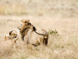 Lion and a Lioness in a Mating Ritual, Ngorongoro Crater, Ngorongoro, Tanzania Photographic Print