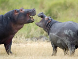 Two Hippopotamuses Sparring in a Forest, Ngorongoro Crater, Ngorongoro, Tanzania Photographic Print