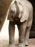 Close-Up of an African Elephant Calf, Lake Manyara, Tanzania Photographic Print