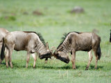 Wildebeests Fighting in a Field, Ndutu, Ngorongoro, Tanzania Photographic Print
