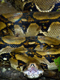 Close-Up of a Boa Constrictor, Arenal Volcano, Costa Rica Photographic Print