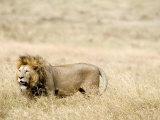 Lion Standing on a Landscape, Ngorongoro Crater, Ngorongoro, Tanzania Photographic Print