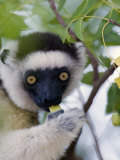 Close-Up of a Verreaux's Sifaka Lemur Sitting on a Tree, Berenty, Madagascar Photographic Print