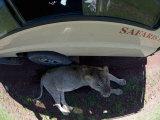 Lion Resting under the Shadow of a Tour Bus, Ngorongoro Crater, Ngorongoro, Tanzania Photographic Print