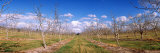 Walnut Orchard, Central Valley, California, USA Photographic Print by  Panoramic Images