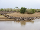 Great Migration of Wildebeests, Mara River, Masai Mara National Reserve, Kenya Photographic Print