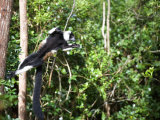 Black and White Ruffed Lemur Jumping from Tree to Tree, Lemur Island, Madagascar Photographic Print