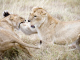 Lion and a Lioness Fighting in a Forest, Ngorongoro Crater, Ngorongoro, Tanzania Photographic Print