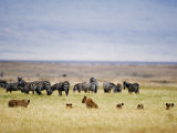 Lion Family Looking at a Herd of Zebras in a Field, Ngorongoro Crater, Ngorongoro, Tanzania Photographic Print
