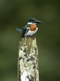 Close-Up of Amazon Kingfisher Perching on a Wooden Post, Cano Negro, Costa Rica Photographic Print