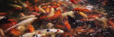 Koi Carps in a Pond, Deshaies, Guadeloupe Photographie par Panoramic Images 