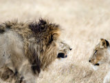 Lion and a Lioness in a Mating Ritual, Ngorongoro Crater, Ngorongoro, Tanzania Fotografie-Druck