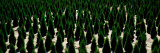 Tree Farm, Washington State, USA Photographic Print by  Panoramic Images
