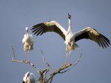 Three White Storks Perching on Branches, Tarangire National Park, Tanzania Reprodukcja zdjęcia