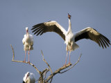 Three White Storks Perching on Branches, Tarangire National Park, Tanzania Photographic Print