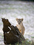 Lion Cub in a Forest, Tarangire National Park, Tanzania Photographic Print