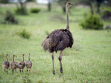 Masai Ostrich with its Chicks in a Forest, Tarangire National Park, Tanzania Photographic Print