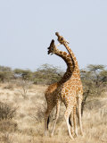 Reticulated Giraffes Necking in a Field, Samburu National Park, Rift Valley Province, Kenya Photographic Print