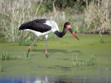 Saddle Billed Stork Bird Searching Food in a Pond, Tarangire National Park, Tanzania Photographic Print