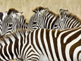 Five Zebras on the Plain, Masai Mara, Kenya Photographic Print