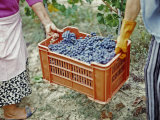 Women Harvesting Grapes in a Vineyard, Barbaresco Docg, Piedmont, Italy Photographic Print