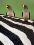 Yellow-Billed Oxpeckers on Top of a Zebra, Ngorongoro Crater, Ngorongoro, Tanzania Photographic Print