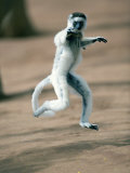 Verreaux's Sifaka Dancing in a Field, Berenty, Madagascar Photographic Print