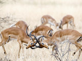 Impalas Fighting in a Forest, Serengeti, Tanzania Photographic Print