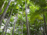 Queensland, Fraser Island, Tropical Palms in the Rainforest Area of Wanggoolba Creek, Australia Photographic Print by Andrew Watson