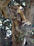 Lioness Rests in a Fig Tree in the Ishasha Area of Queen Elizabeth National Park Photographie par Nigel Pavitt
